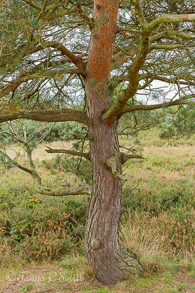 Scots Pine Tree Trunk