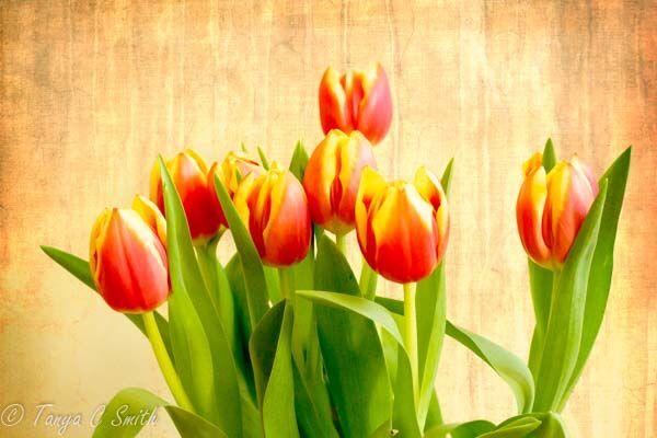 Texture Tulips