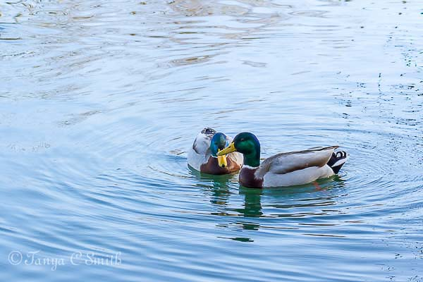 Two Mallard Ducks Swimming