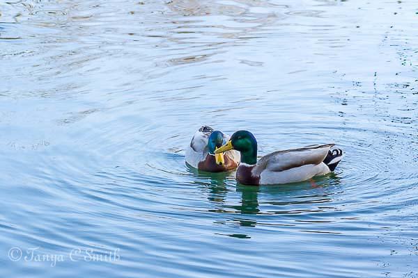 Two Mallard Ducks Swimming