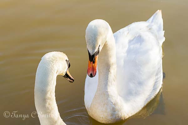 Two Swans 002