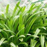 Watering Agapanthus Plant Leaves