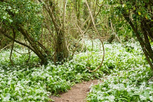Wild Garlic Allium Ursinum Woodland