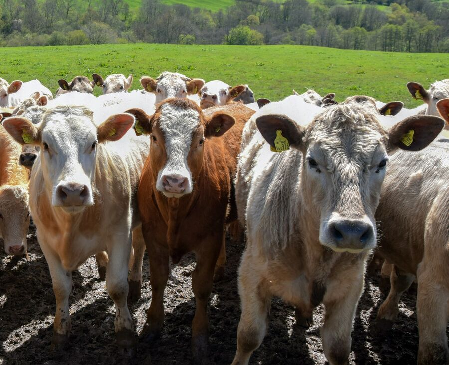 A very curious herd of cattle
