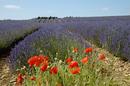 Lavender Fields at Snowshill U.K.
