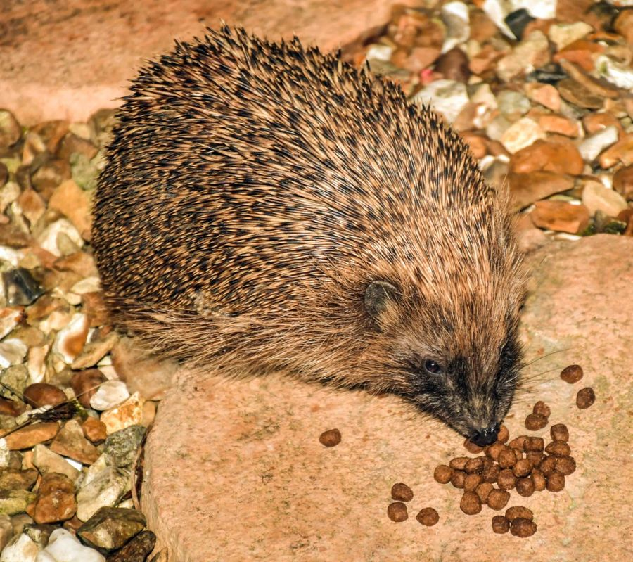 Hedgehog feeding.