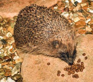 Hedgehog feeding.