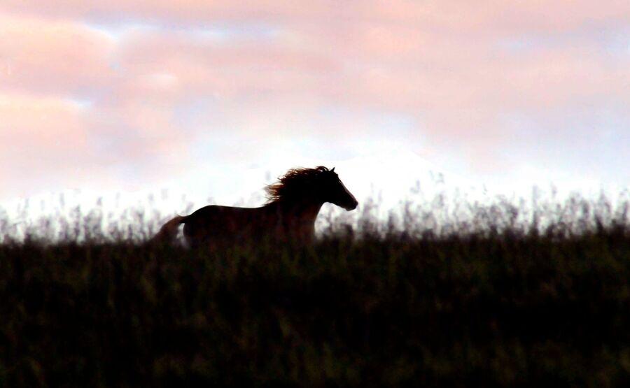 Wild horse  running at dusk
