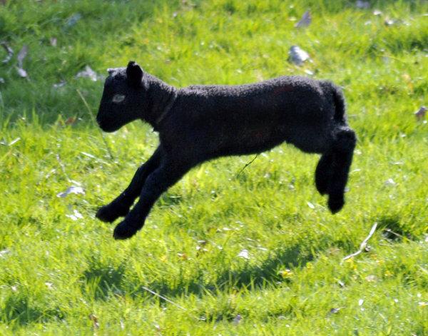 New Born Black Lamb.