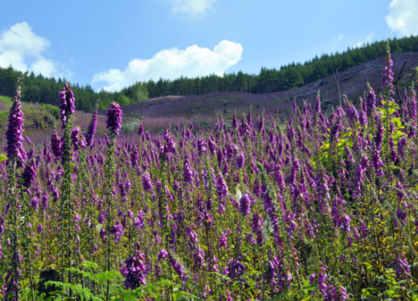 Foxgloves in Mid Wales