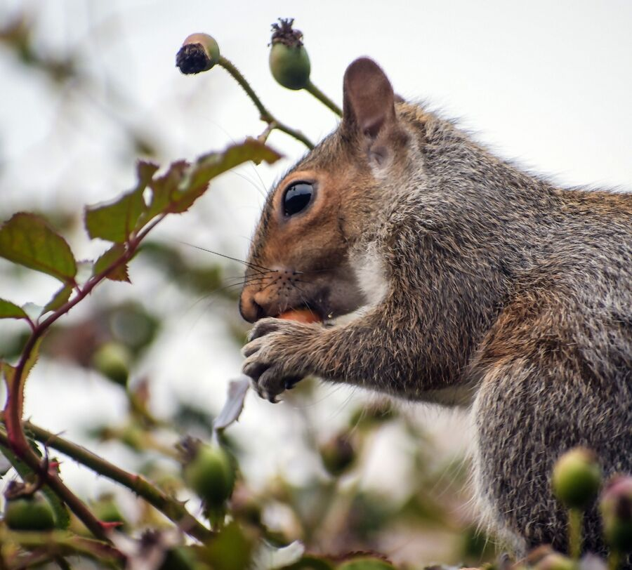 A Squirrel enjoying a rosehip in winter