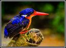 Kingfisher Photographer