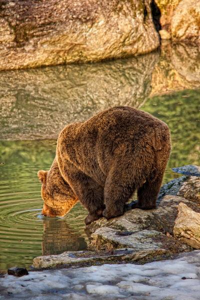 Bear Evening Drink