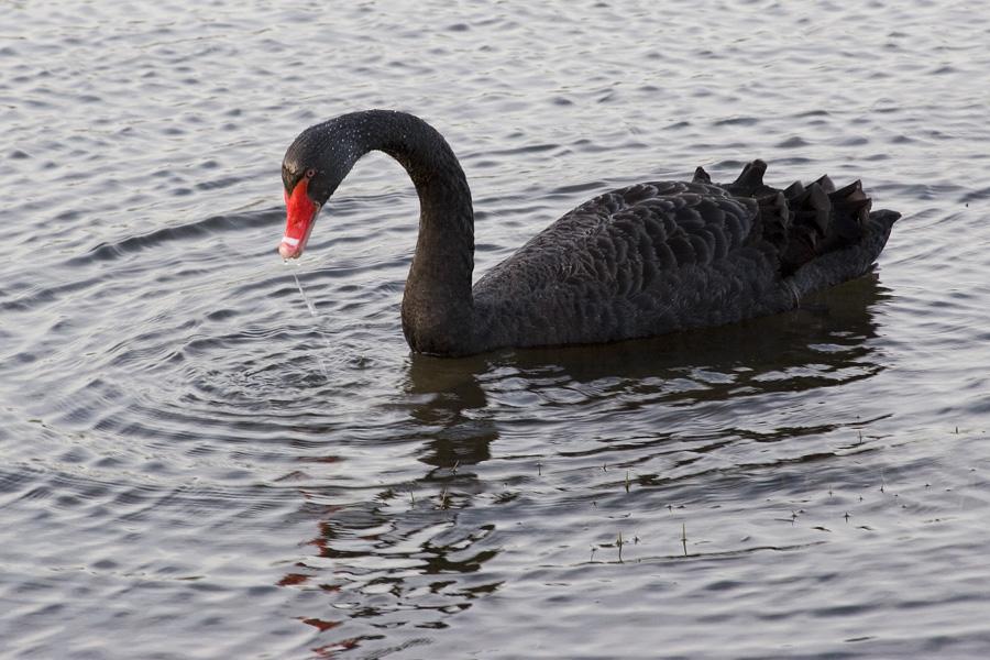 Black Swan At Waterhay