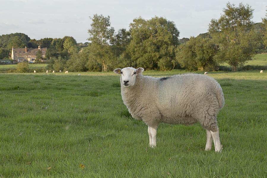Lacock Sheep