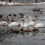 Lydiard Ice Swans