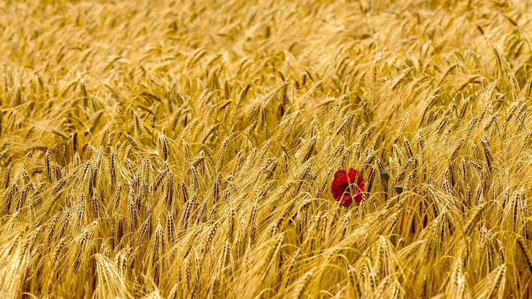 Poppy in Corn