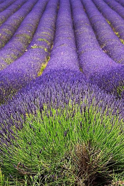 Snowshill Lavender