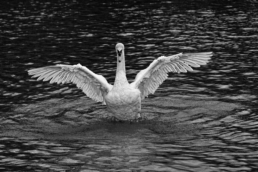 Swan Displaying Mono