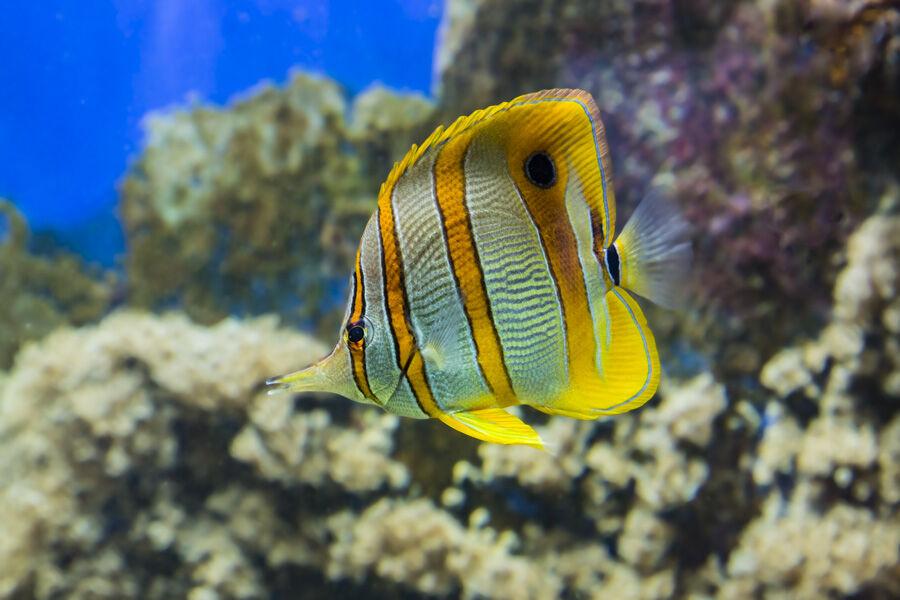Thai Copperband Butterflyfish