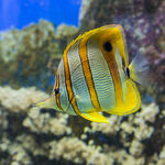 Thai Copperband Butterflyfish