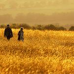 Walking In Golden Field