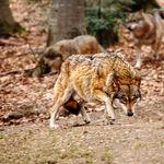 Wolf Approach