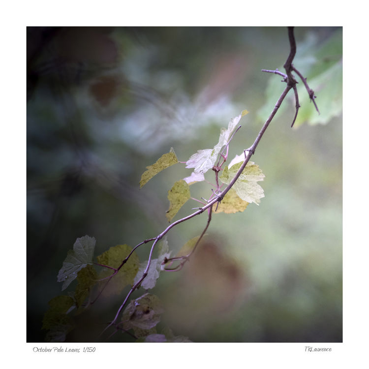 16 x 16 October Pale Leaves