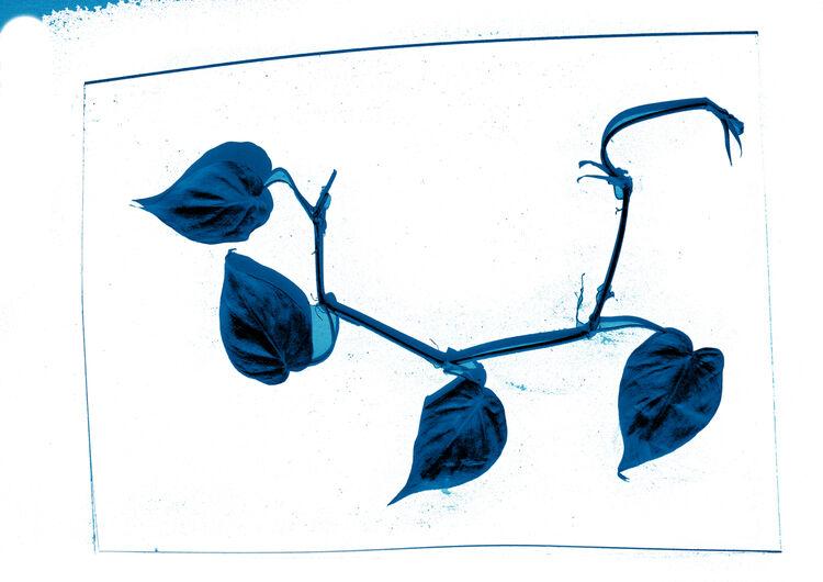 Cyanotype Philoendron Scandens