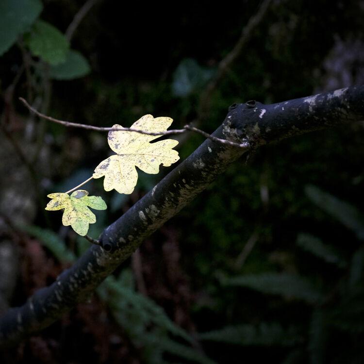 DSCF0771  November Winter Leaves