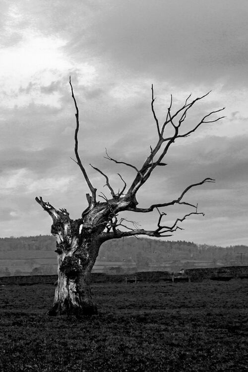 IMG 3550 bw Old Tree At Craswell