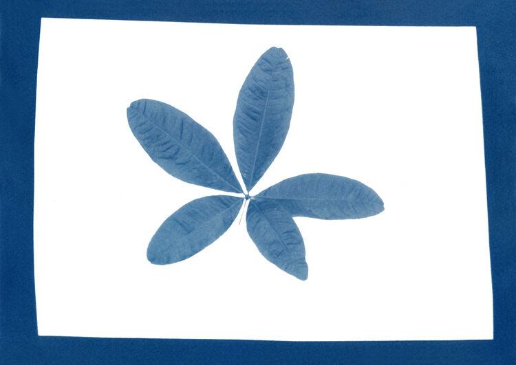 Pachira Aquatica Leaves