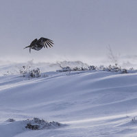 Grouse in flight