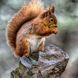 Squirrel on stump