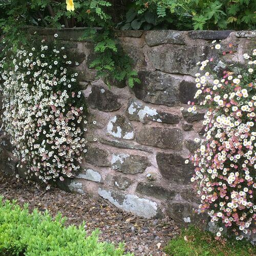 Erigeron wall