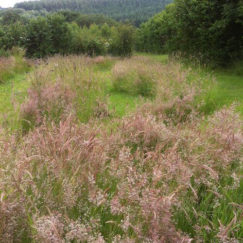 Grass Form Yorkshire Fog
