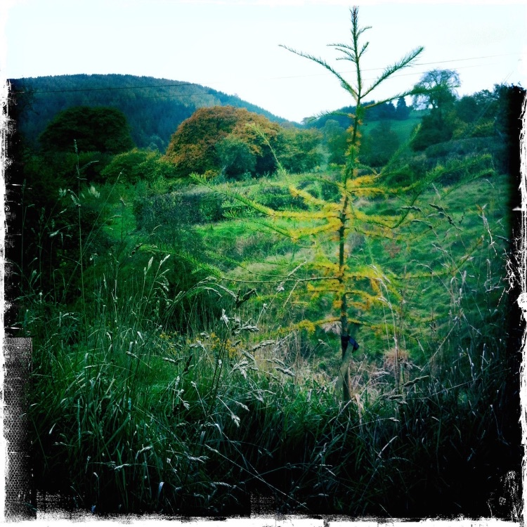 Japanese larch newly planted