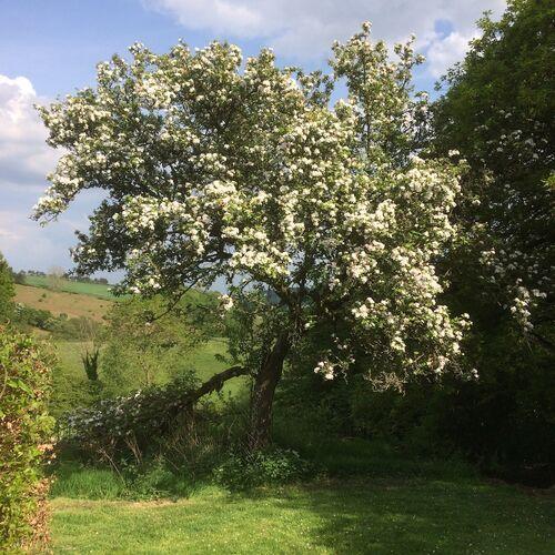 Mother apple tree