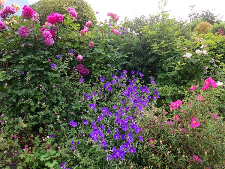 Rose border with geraniums and cistus