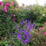 Rose border with geraniums and cistus