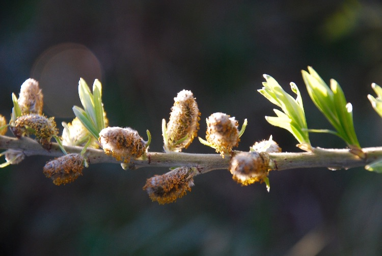 larch catkins