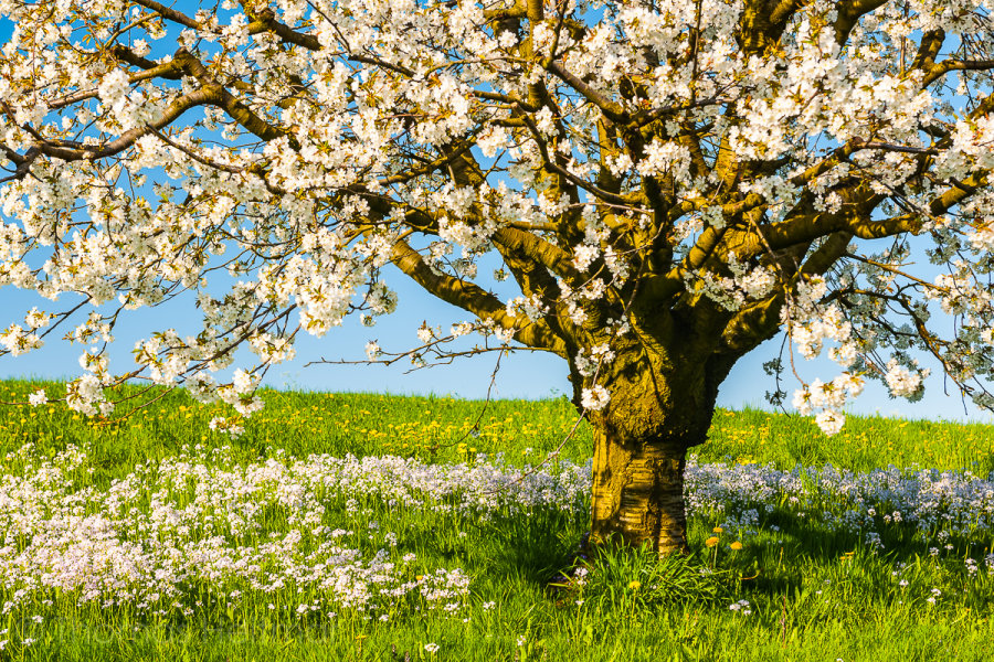 Picture of the Month - April 2014 - Cherry Tree, Baselland, Switzerland