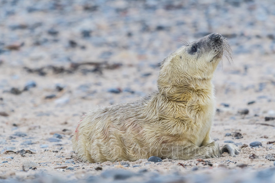 Picture of the Month - December 2016 - New Born Seal Baby - Age ... 1 hour - Helgoland - Germany