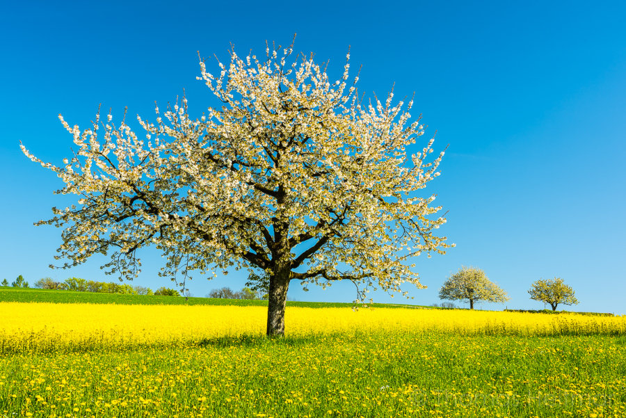 Picture of the Month - April 2015 - Cherry Trees - Baselland, Switzerland