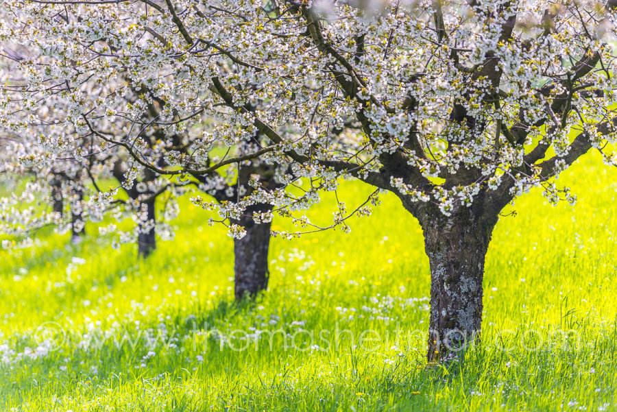 Picture of the Month - April 2016 - Cherry Trees - Switzerland