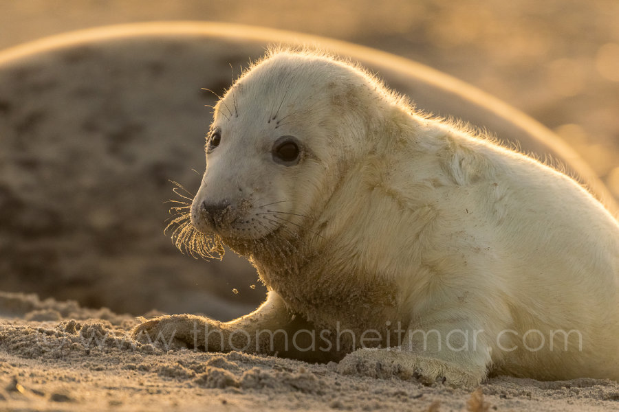 Picture of the Month - December 2015 - Newborn Seal Baby at the Beach of Helgoland, Germany