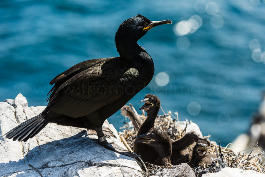 Picture of the Month - June 2015 - Cormorant Family Life, Farne Islands, Northumberland, England