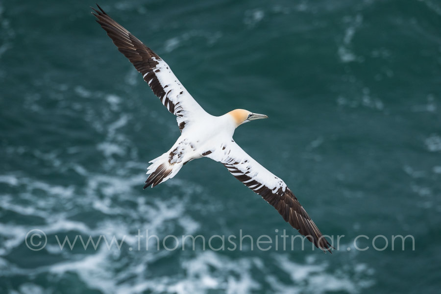 Picture of the Month - May 2016 - Northern Gannet - St. Abbs Head - Scotland
