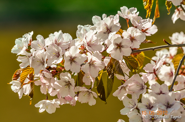 Cherry Blossom by River Aura