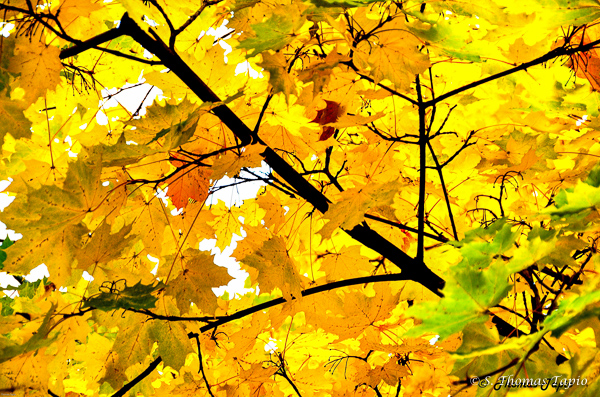 Maple leafs in the autumn.